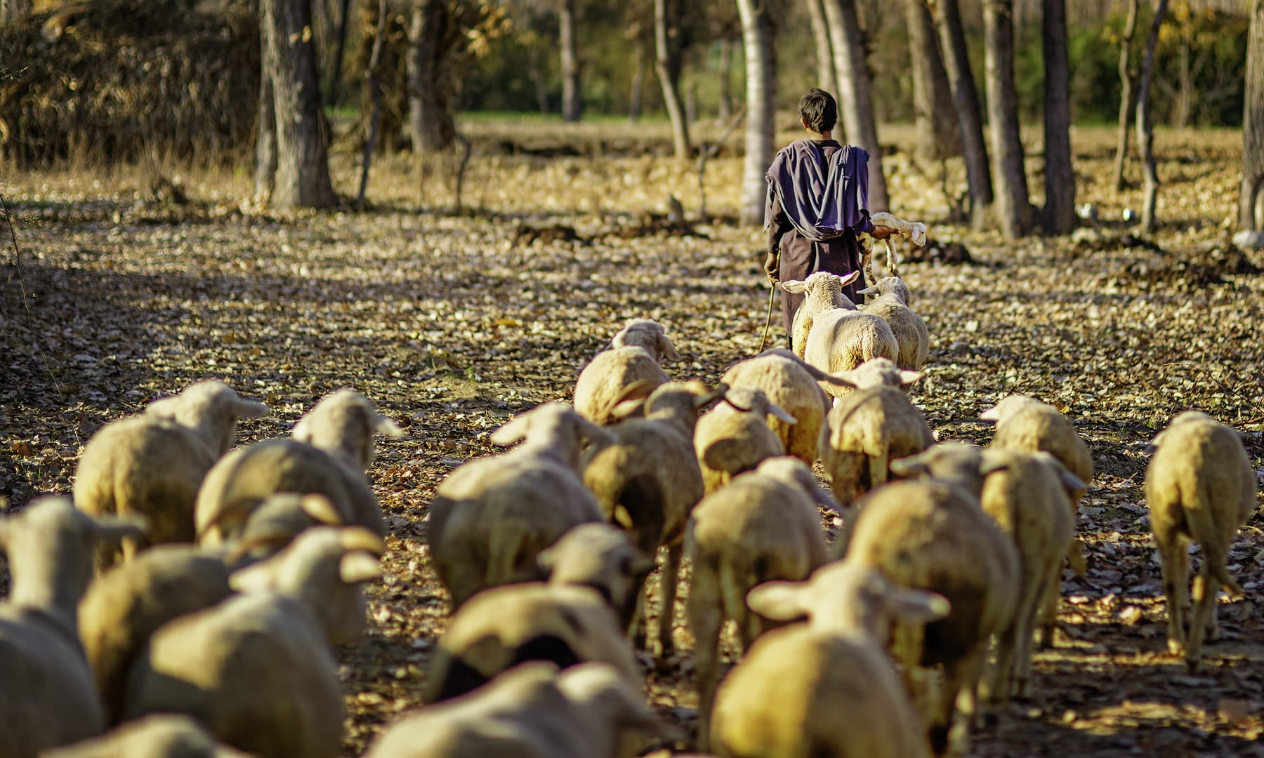 A shepherd boy with his sheep.