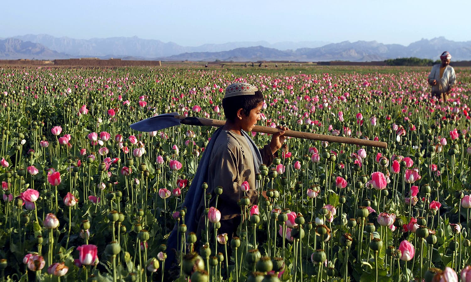 An Afghan child carries a shovel on his shoulder as he walks in a poppy field in Zari. ─ AP