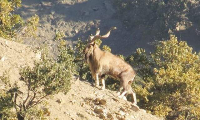 A Markhor, Pakistan's national animal, spotted at the park.