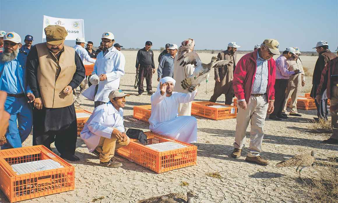 The release of 200 captive bred houbara bustards at the Lal Suhanra National Park in Bahawalpur | Mohammad Ali, White Star