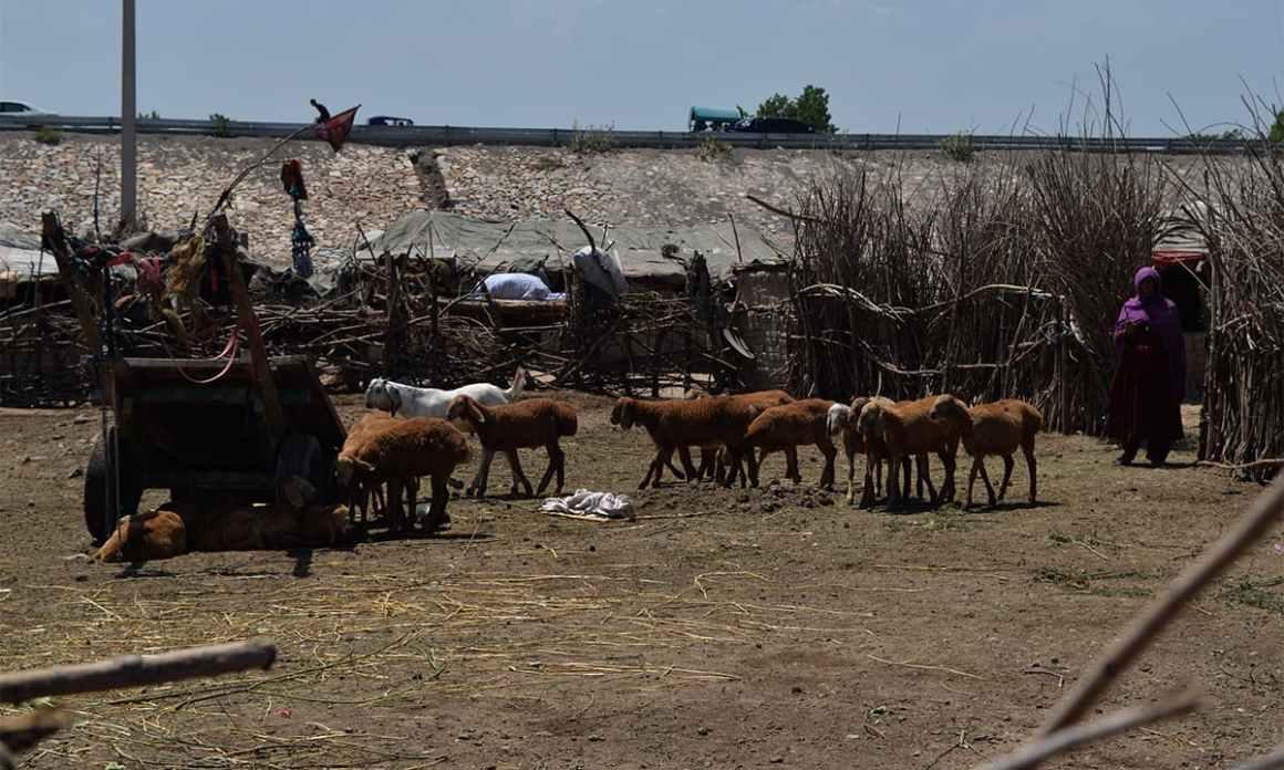 A woman watches over a herd near Chamkani, Peshawar. Credit: Musharraf Ali