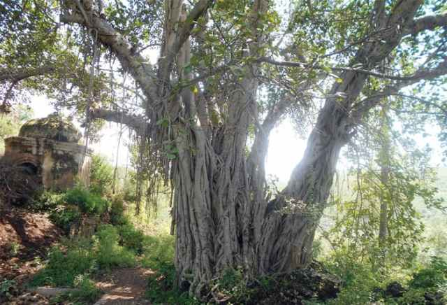 An old banyan tree near the temple. — Photos by the writer