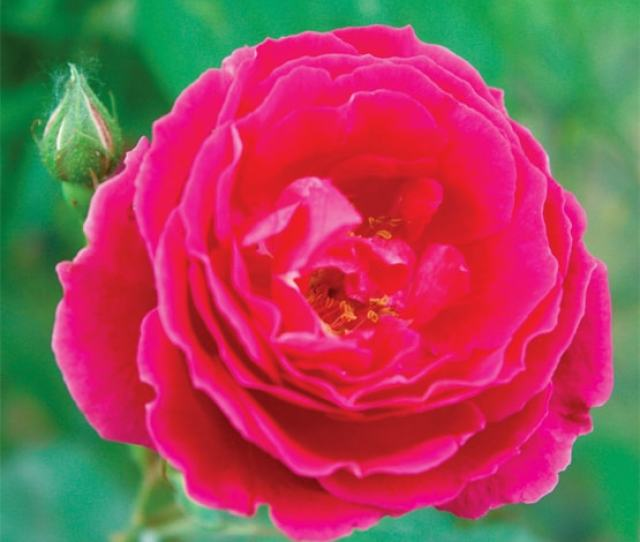 Fragrant Desi Rose