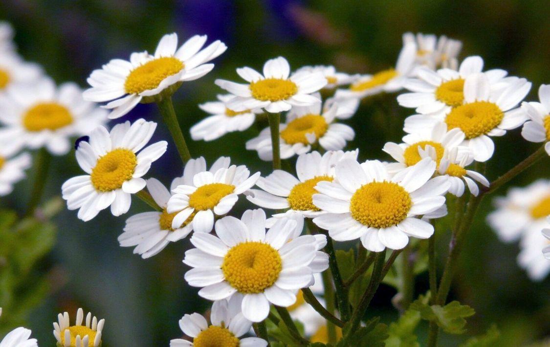 100 Samen Mutterkraut - Chrysanthemum parthenium alte Heilpflanze