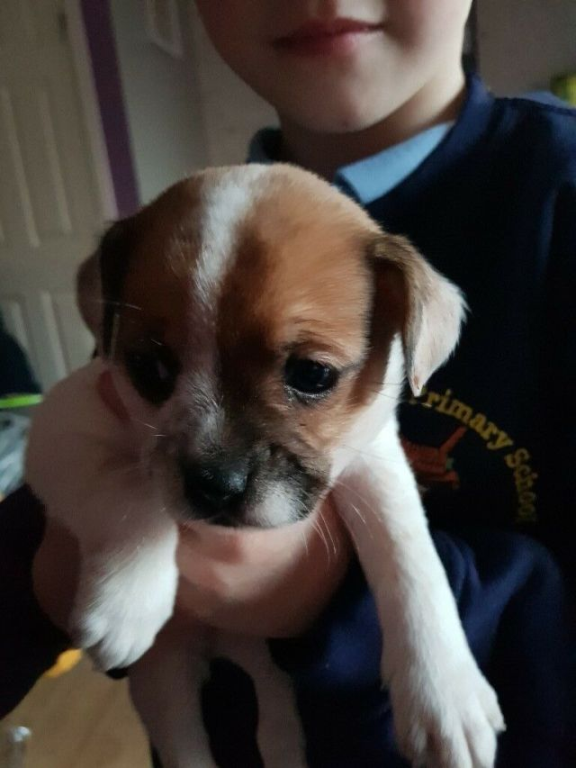 jack russell's cross french bulldog puppy for sale | in dudley, west  midlands | gumtree