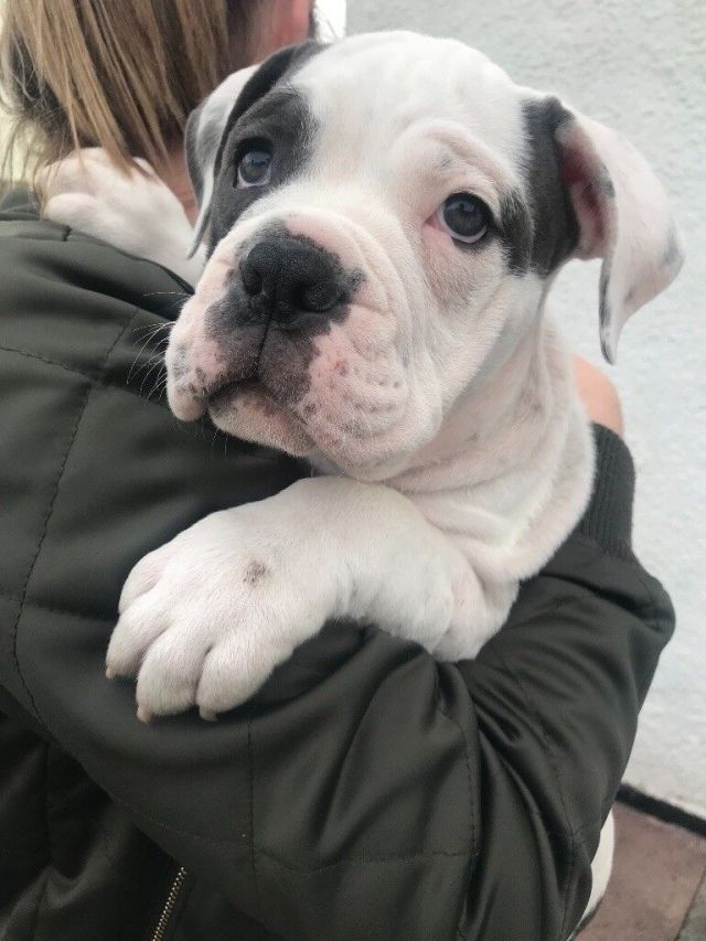 dorset olde tyme bulldog puppy   in workington, cumbria   gumtree