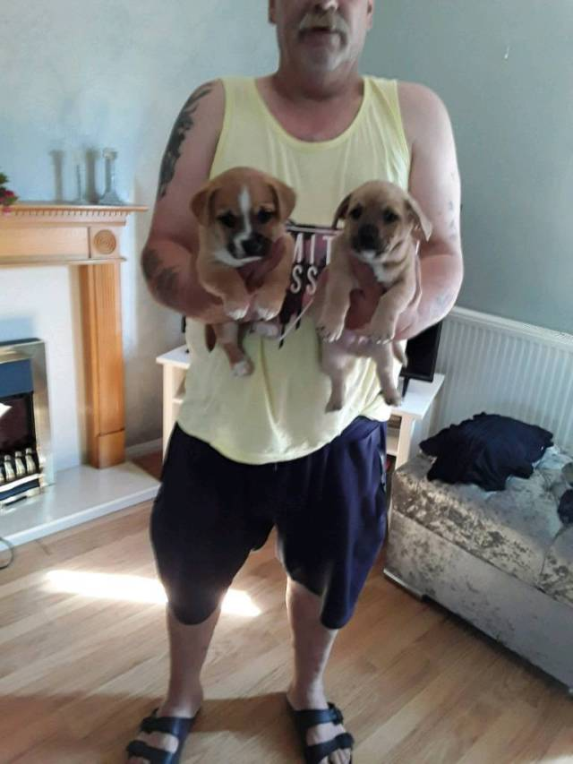 pomeranian cross french bulldog ready now | in sittingbourne, kent | gumtree