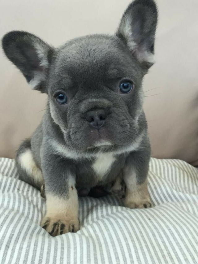 lilac and tan blue and tan french bulldog puppies for sale   in culcheth,  cheshire   gumtree