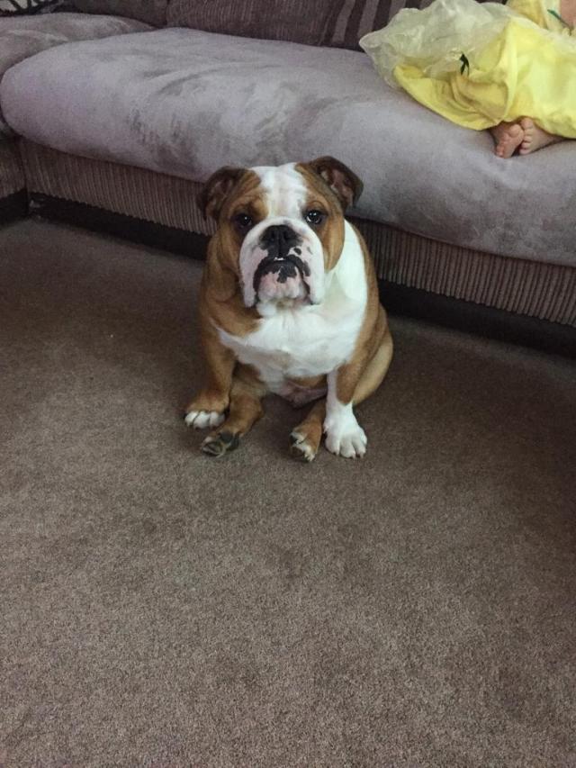 british bulldog for sale   in rothwell, northamptonshire   gumtree