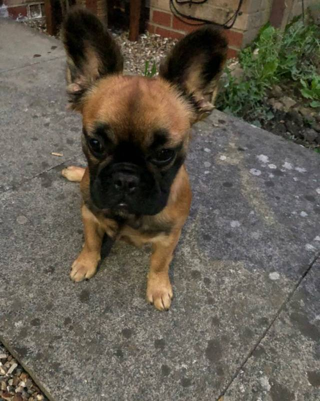long haired french bulldog for - goldenacresdogs