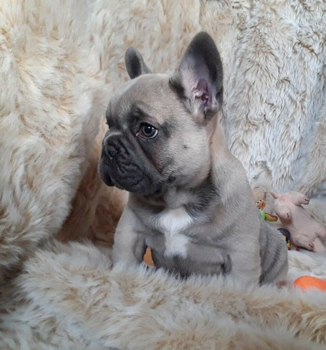 reduced exceptional quality french bulldog puppies blue fawn /lilac | in  stranraer, dumfries and galloway | gumtree