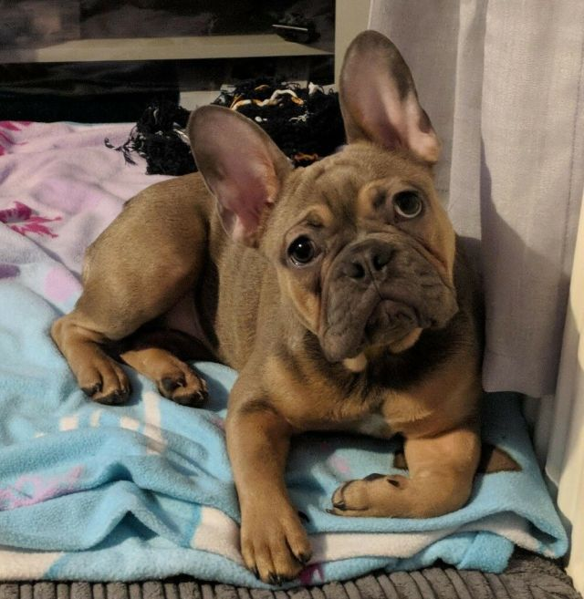female french bulldog 9 months old blue fawn sable with tan points | in  caerphilly | gumtree