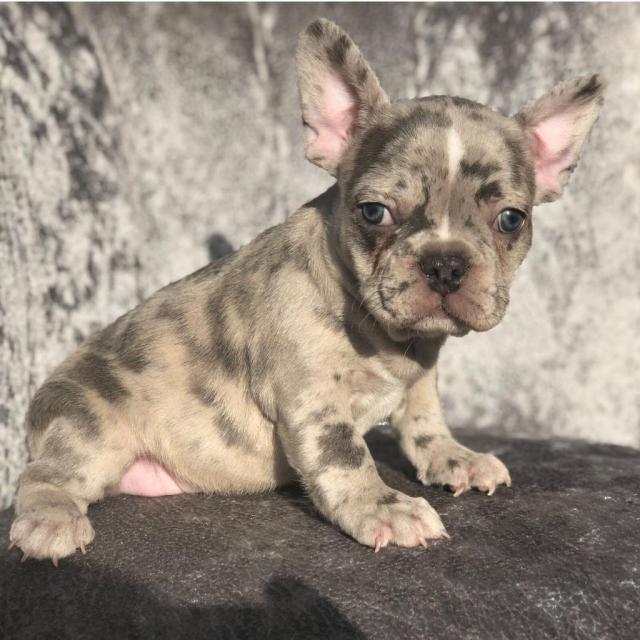 stunning merle girl french bulldogs for sale | in hornchurch, london |  gumtree