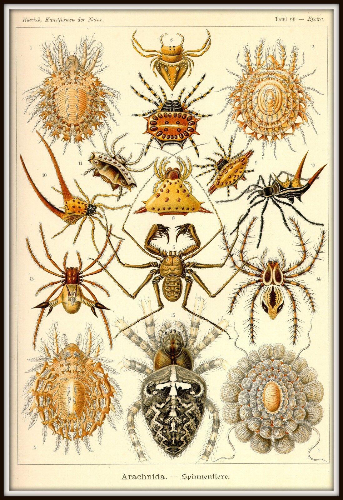 Spider Poster Ernst Haeckel Arachnids Science Illustration Print 4x6