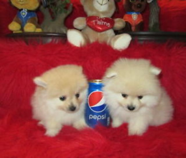 Tcup Pomeranian Puppies
