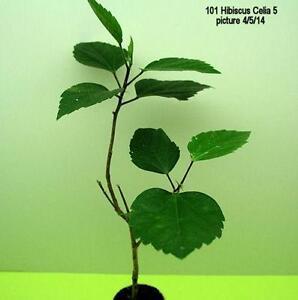 Hibiscus Plant EBay