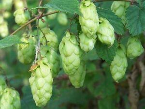 LUPULO para CERVEZA humulus lupulus 100 semillas seeds