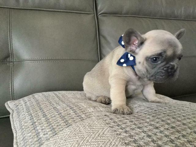 quality french bulldogs for sale | in merthyr tydfil | gumtree