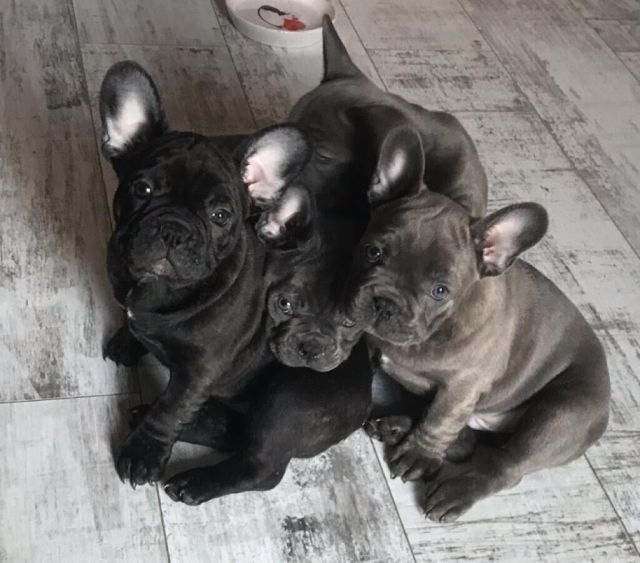 french bulldog puppies for sale | in south east london, london | gumtree