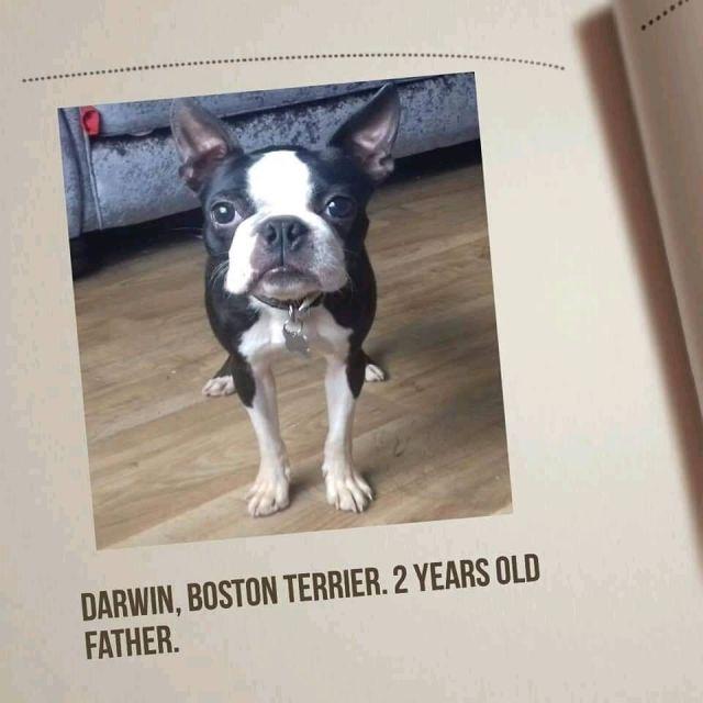 boston terrier cross frug puppies.   in cwmbran, torfaen   gumtree