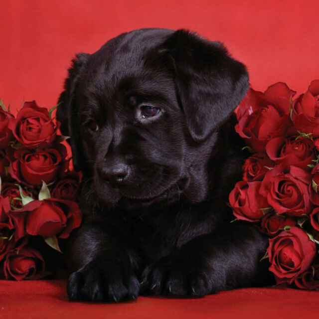 Labradors Black Yellow Amp Chocolate Greeting Cards
