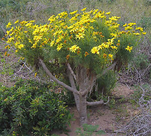 Image result for giant coreopsis