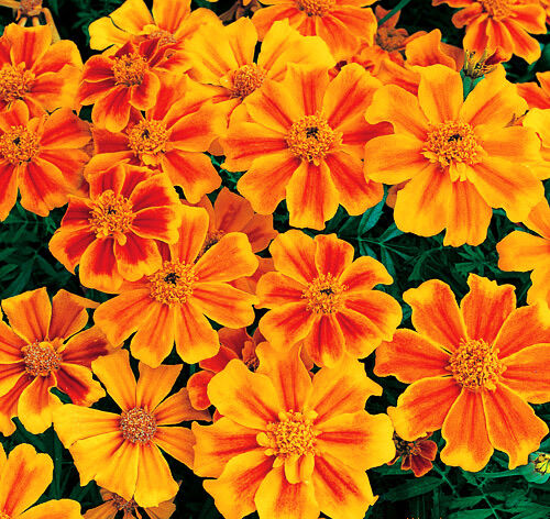 50 French Marigold Seeds Tagetes Patula Ornamental Garden Flowers   eBay 50 French Marigold Seeds Tagetes Patula Ornamental Garden Flowers