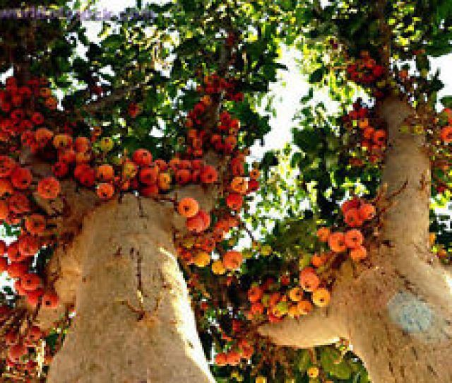Image Is Loading 20 Sycamore Fig Ficus Sycomorus Fruit Tree Seeds