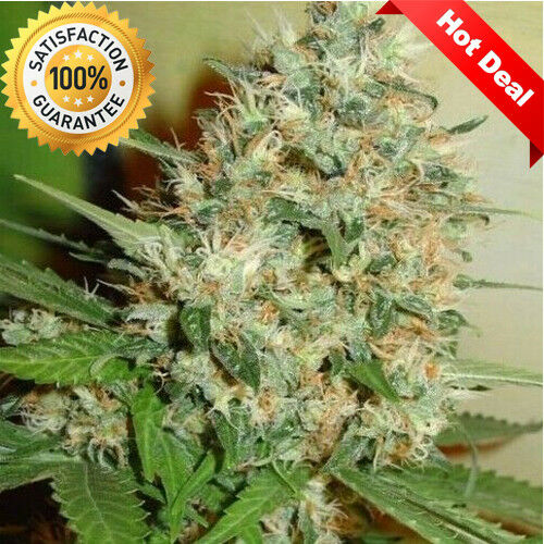 100-White-Candy-Hemp-Seeds