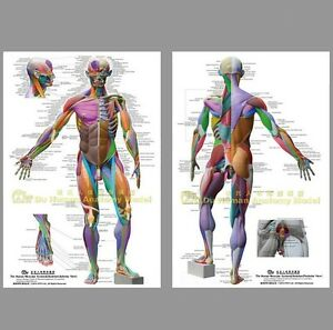 details about muscular system anatomical chart poster large64 48 26 anatomy massage yoga