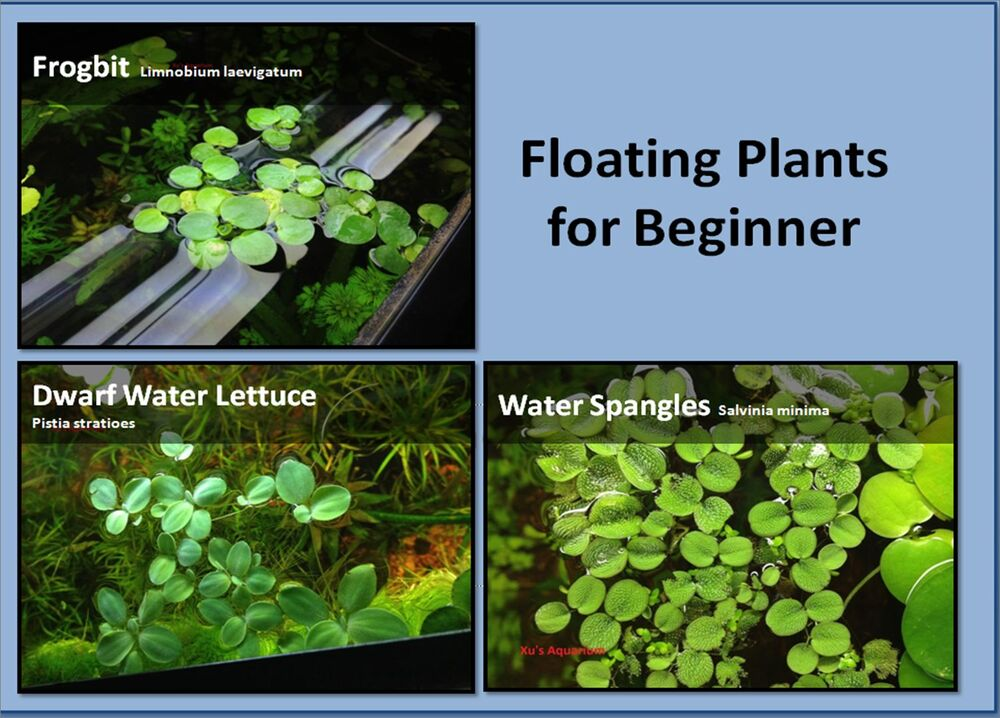Where Buy Floating Water Plants
