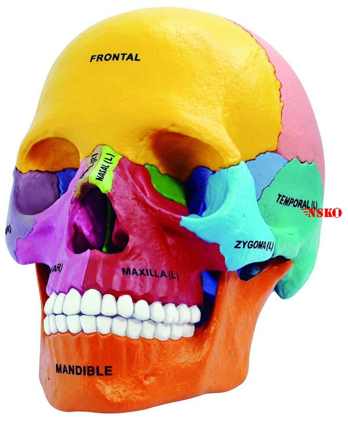 New 4d Puzzle Didactic Exploded Beauchene Skull Color Human 1 2 Anatomy 3d Model