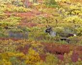 Caribou in Fall Colors - Lustre or Metal Print