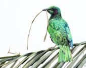 Visitor in Green - Original coloured pencil painting by Wild Portrait Artist, A4 size (21 x 29.7cm) realistic drawing of an emerald starling
