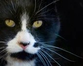 The Amazing Mr. Tom, Color Cat Photo, Tuxedo Cat, Veterinary Art, Wall Art Print, Printable Digital Download, Cat Portrait, Cat Decor