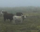 Longhorn photo, Cow Photo...