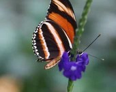Banded Orange Butterfly / Blank Greeting Card / Note Card / Nature / Photography