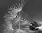 Pusteblume, schwarz weiß Fotografie minimalistisch, Fine Art Druck, Löwenzahn Bild, Foto Natur, quadratisches Bild, Wandbild schwarz weiß