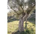 Olivenbaum, Fotografie Natur, Fine Art Fotografie, Druck Natur, Baum Fotografie, Urlaubsbild, Pflanze Bild, Landschaftsfotografie, Fernweh