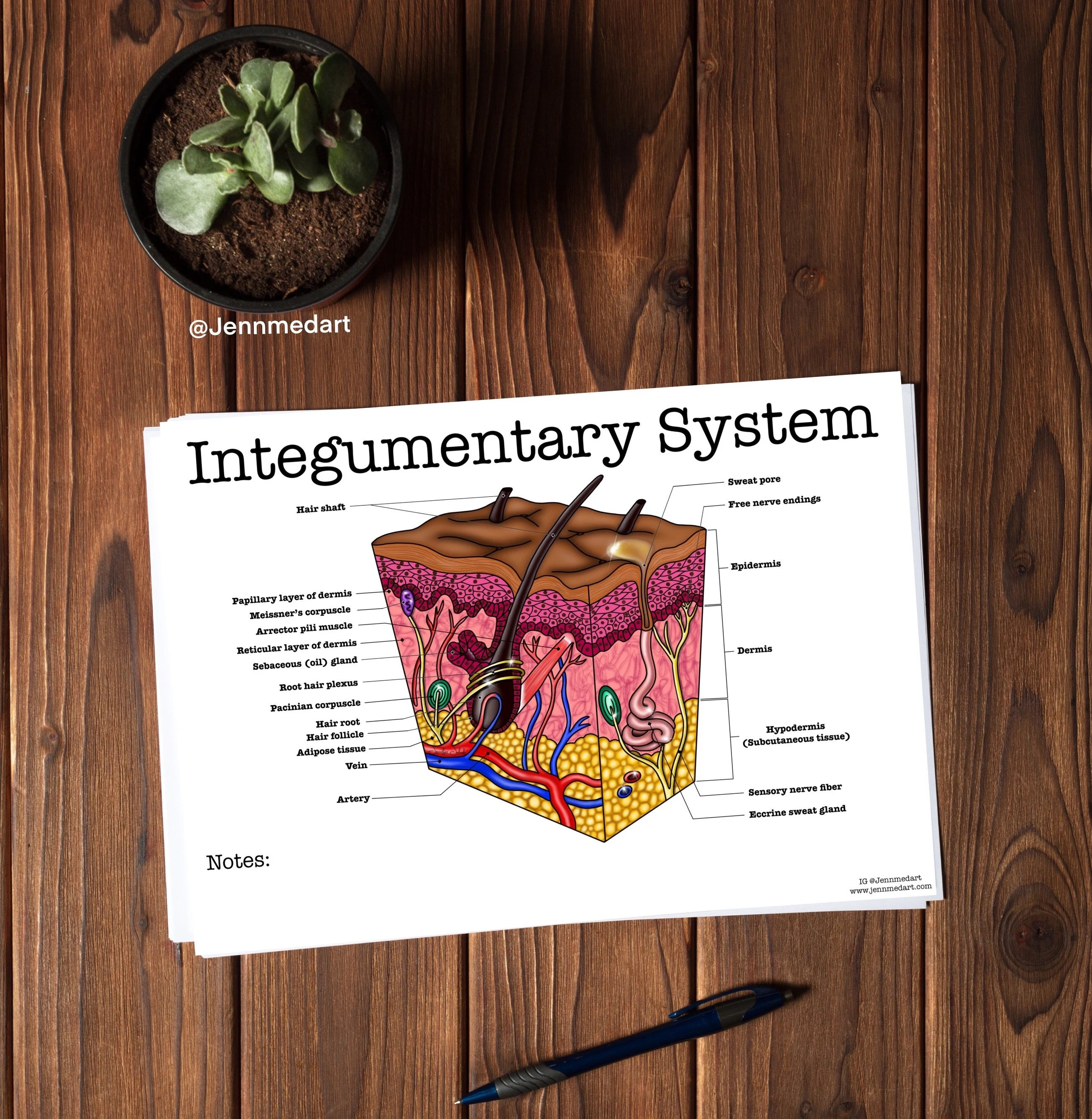 Integumentary System Worksheet 3 In 1 Set A Labeled