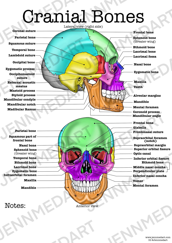 Cranial Bones Anatomy Worksheet 3 In 1 Set A Labeled