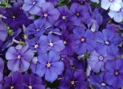 PHLOX drummondii Beauty Moody Blues image 0
