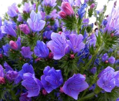 Echium Blue Bedder image 0