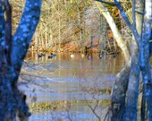 Ducks on a frozen pond scenic photography print,  nature and landscape,outdoor photos