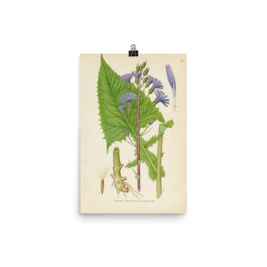 Alpine Sow-Thistle poster...