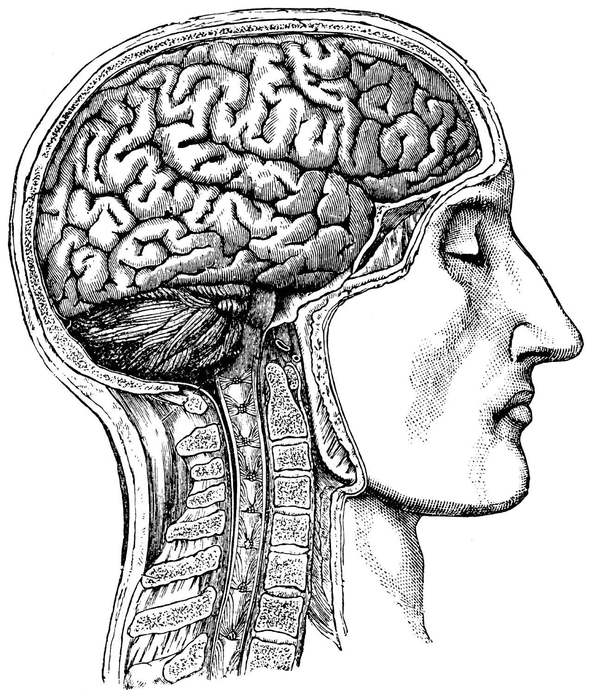 Human Brain Anatomical Medical Skull Anatomy 54
