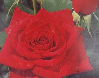 Trumpeter Orange Red Rose 3 Gal Live Bush Plants Floribunda Etsy