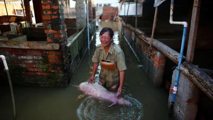 À Xiaogan, cette femme, effondrée, a vu sa ferme être complètement inondée. Elle a perdu une grande partie de ses animaux comme ce cochon.