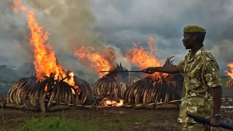 La crémation des 105 tonnes d'ivoire a débuté samedi et devrait durer plusieurs jours.