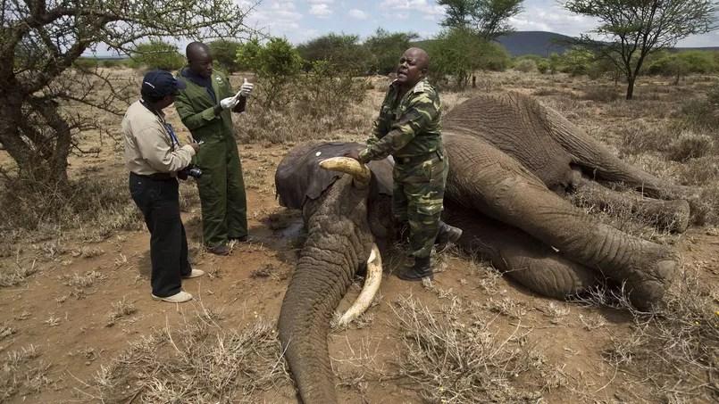 Près de Kajiado, dans le sud du Kenya, une équipe médicale s'apprête à administrer un atidote à un éléphant anesthésié après un contrôle vétérinaire.